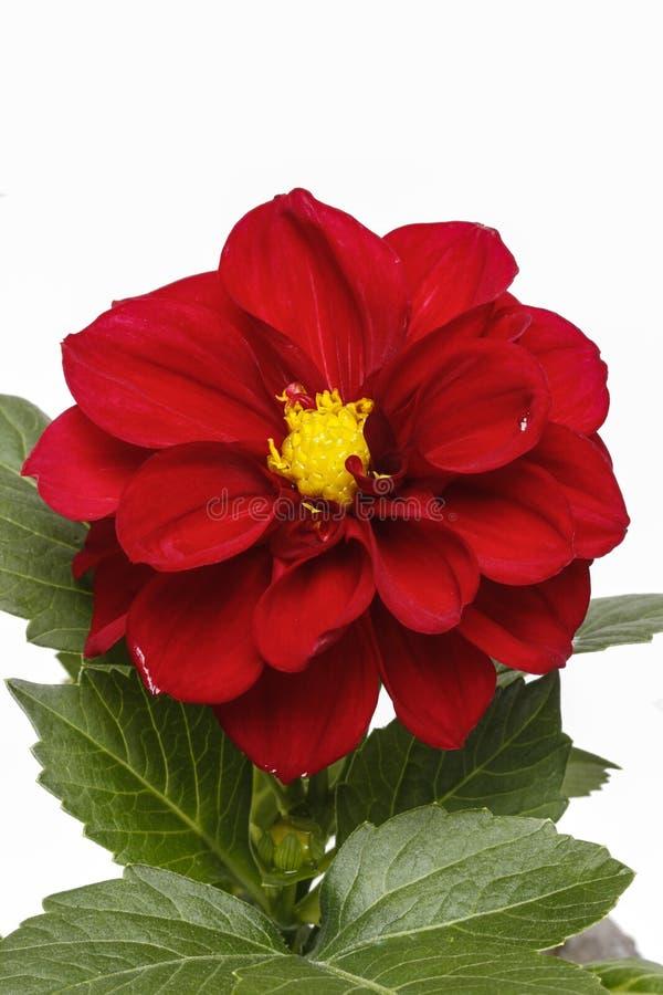 Flor vermelha da dália isolada no fundo branco fotos de stock royalty free