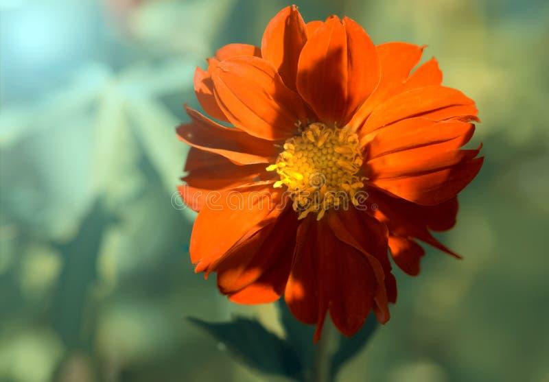 Flor vermelha da dália na luz solar Foco seletivo fotos de stock