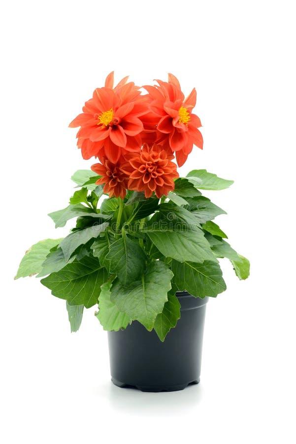 Flor vermelha da dália no vaso de flores no fundo isolado branco fotografia de stock