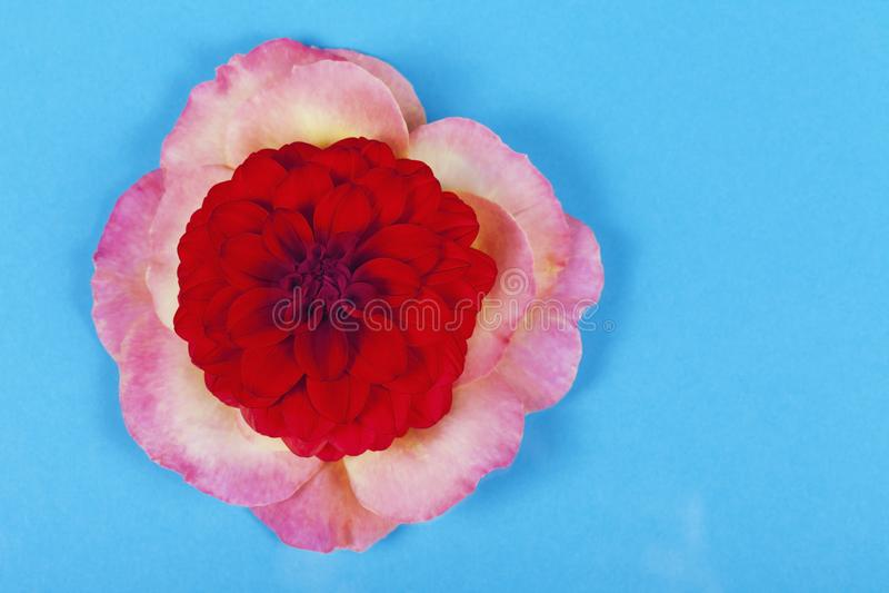 Flor vermelha da dália sobre as pétalas cor-de-rosa fotografia de stock