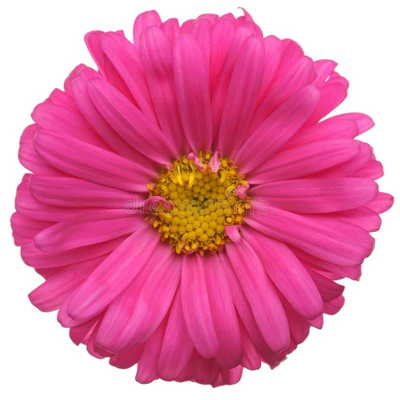 Flor vermelha da margarida fotos de stock royalty free
