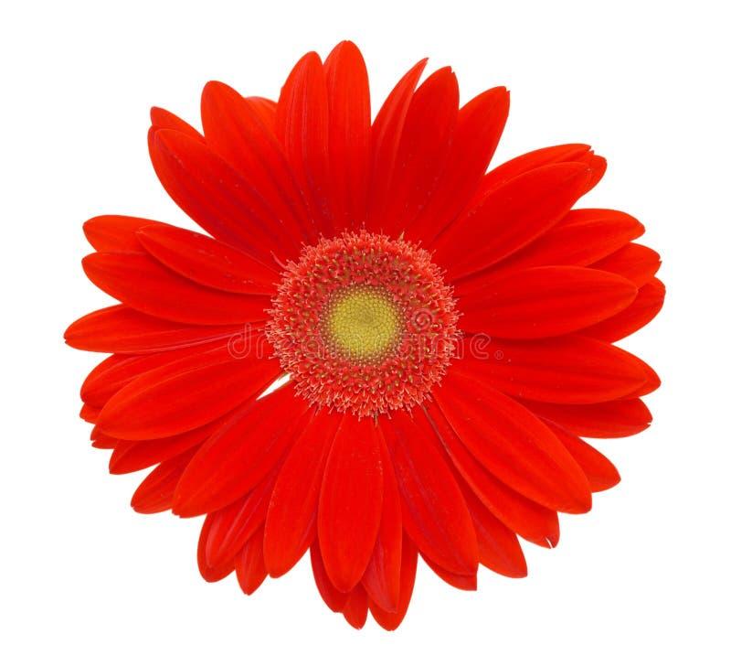 Flor vermelha da margarida imagem de stock