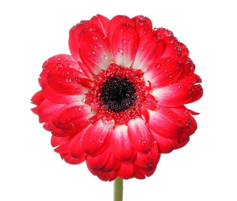 Flor vermelha da margarida imagens de stock royalty free