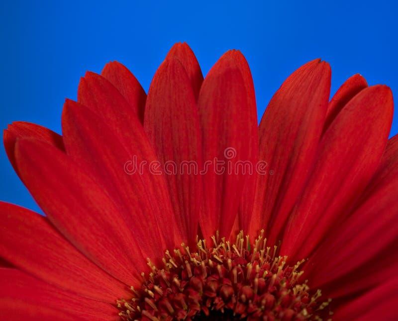 Flor vermelha da margarida fotos de stock