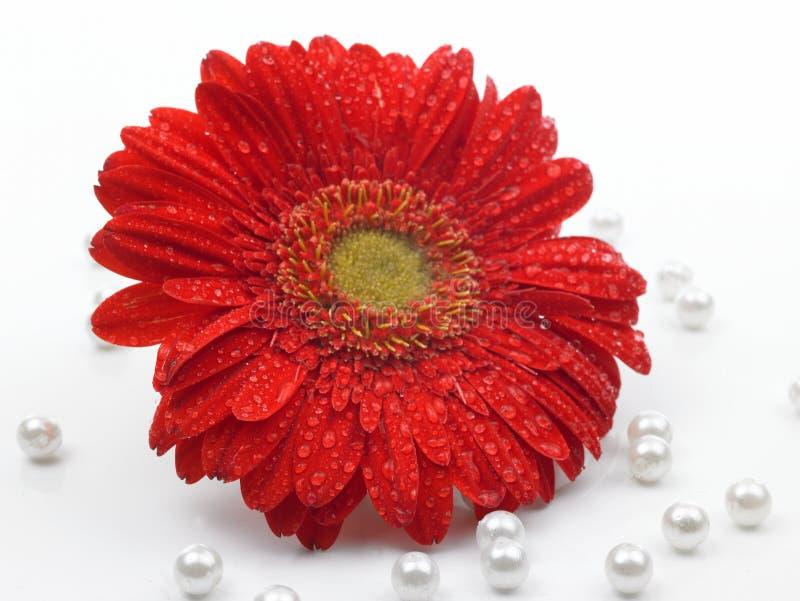 Flor vermelha da margarida imagens de stock