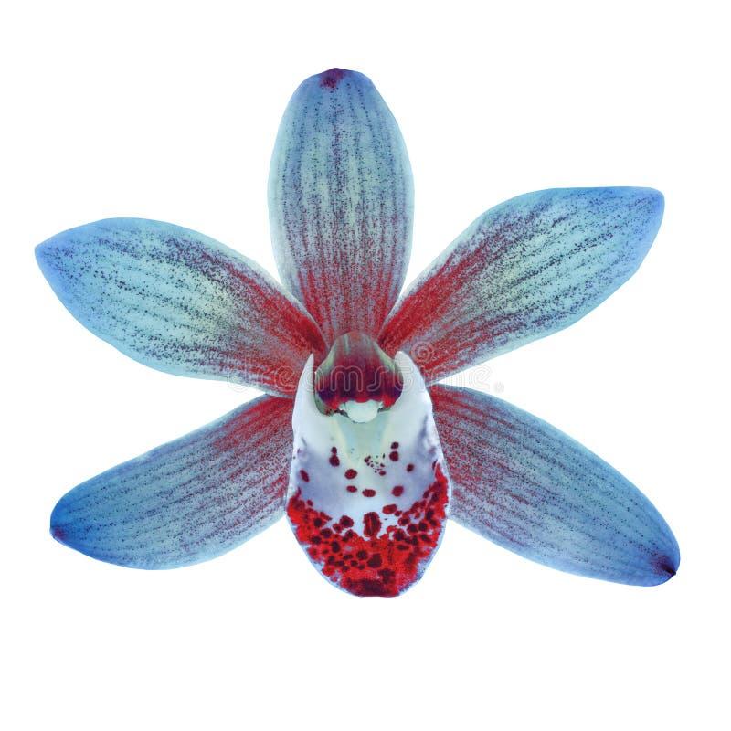 A flor vermelha da orquídea azul isolou o fundo branco com trajeto de grampeamento Close-up da flor em bot?o fotografia de stock