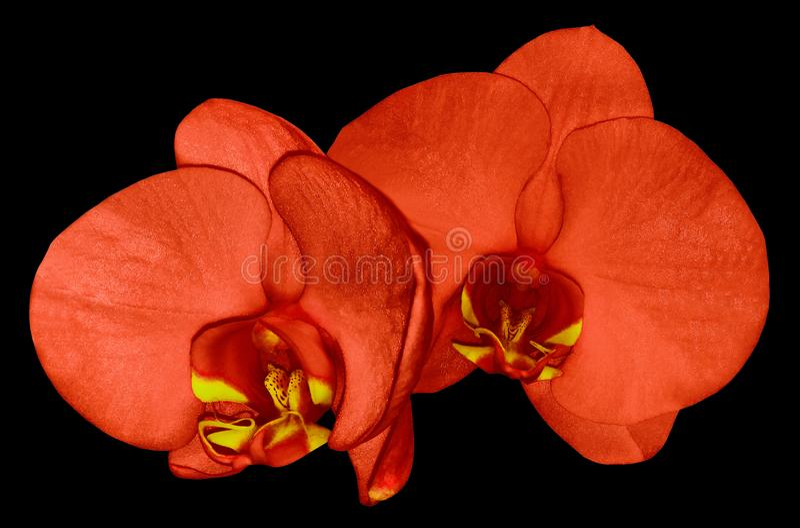 Flor vermelha da orquídea isolada no fundo preto com trajeto de grampeamento closeup Flor vermelha do phalaenopsis com bordo verm fotografia de stock royalty free