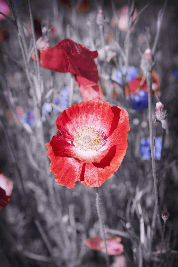 Flor vermelha da papoila foto de stock
