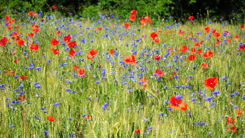 A flor vermelha da papoila e o cyanus azul do Centaurea da centáurea colocam o panorama fotografia de stock royalty free