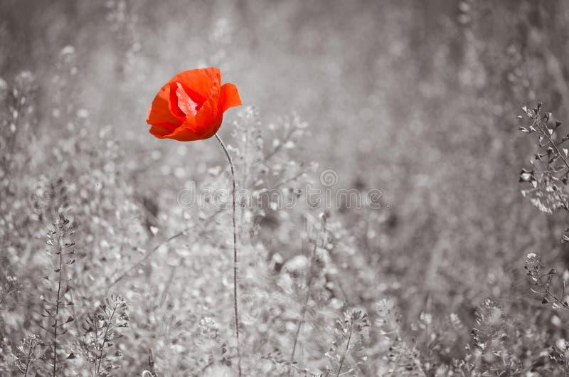 Flor vermelha da papoila em um fundo monocromático fotos de stock royalty free