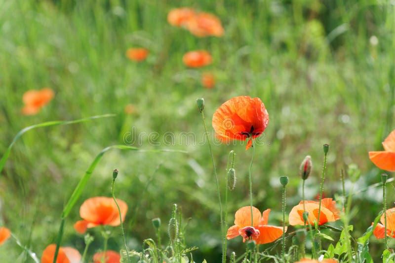 Flor vermelha da papoila no campo verde fresco da mola, dia ensolarado fotografia de stock royalty free