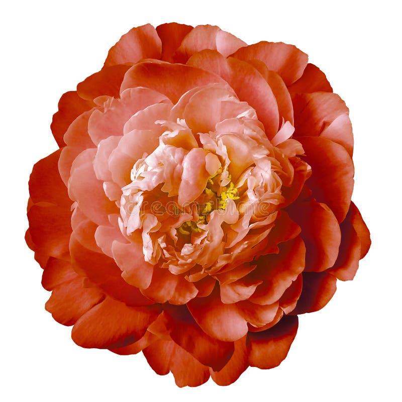 Flor vermelha da peônia com estames amarelos em um fundo branco isolado com trajeto de grampeamento Close up nenhumas sombras Par fotografia de stock royalty free