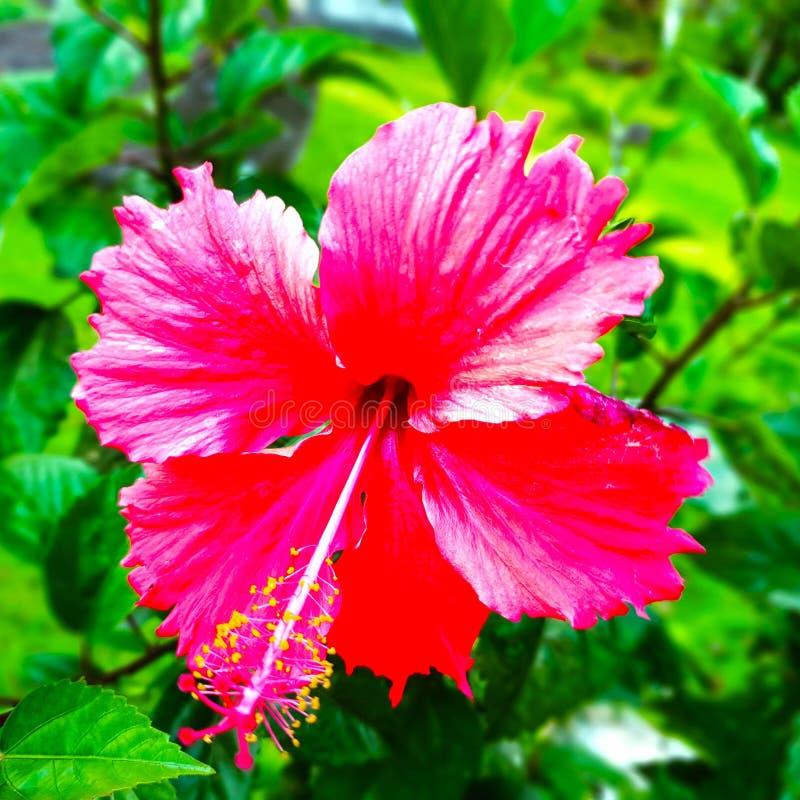 Flor vermelha da planta do gumamela imagem de stock