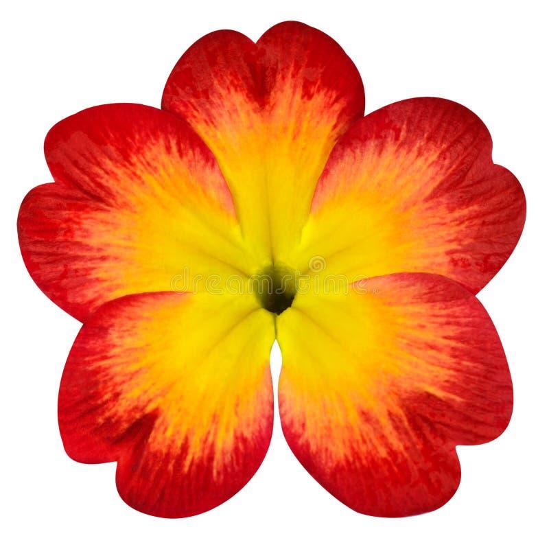 Flor vermelha da prímula com o centro amarelo isolado no branco fotos de stock royalty free