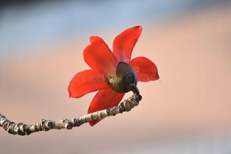 a flor vermelha da suma?ma com fundo brilhante do bokeh, fecha-se acima da vista imagens de stock