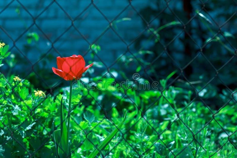 Flor vermelha da tulipa atrás das barras fotografia de stock royalty free