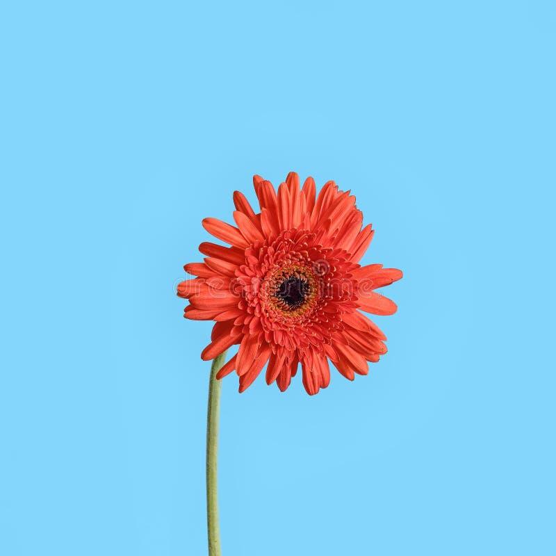 Flor vermelha de Gerber no fundo azul fotos de stock