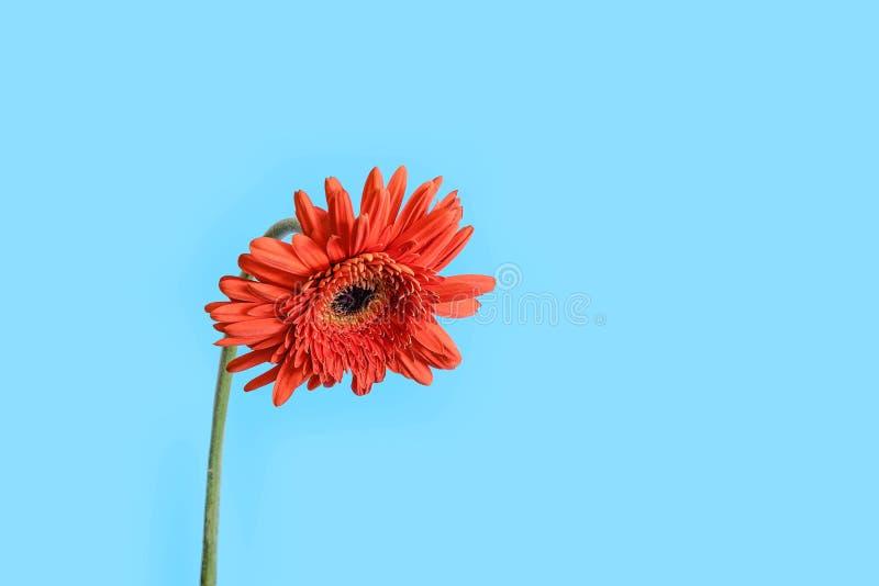 Flor vermelha de Gerber no fundo azul imagem de stock