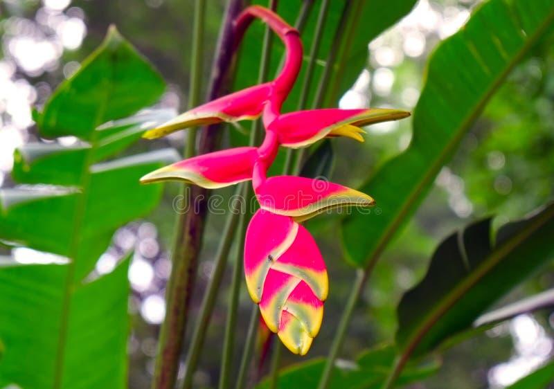 Flor vermelha de Heliconia imagem de stock royalty free