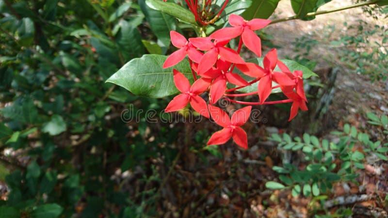 Flor vermelha de Ixora imagens de stock royalty free