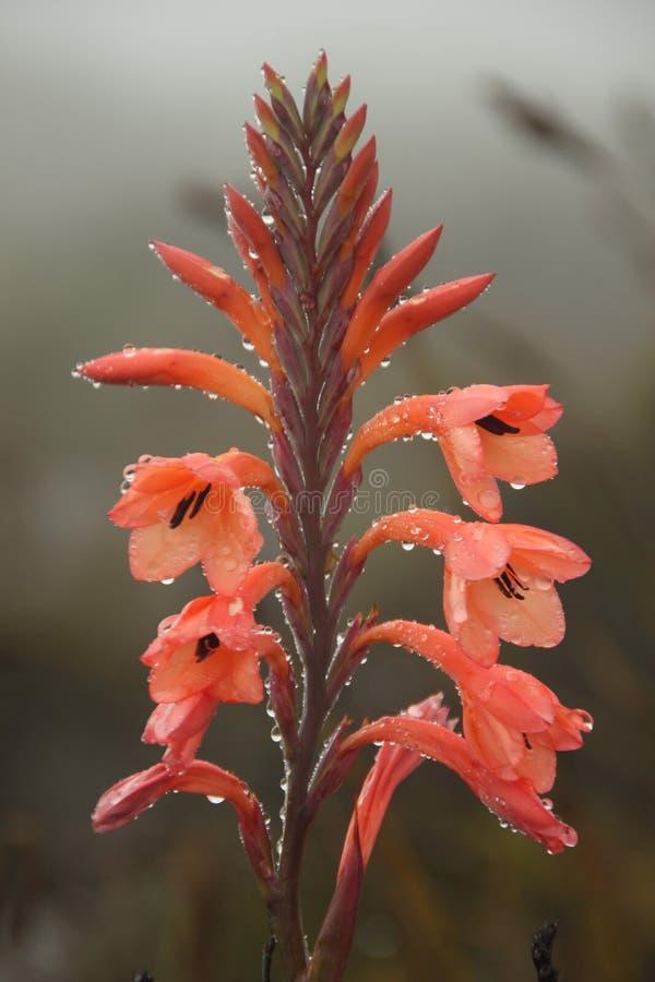 Flor vermelha delicada no orvalho da manhã imagens de stock