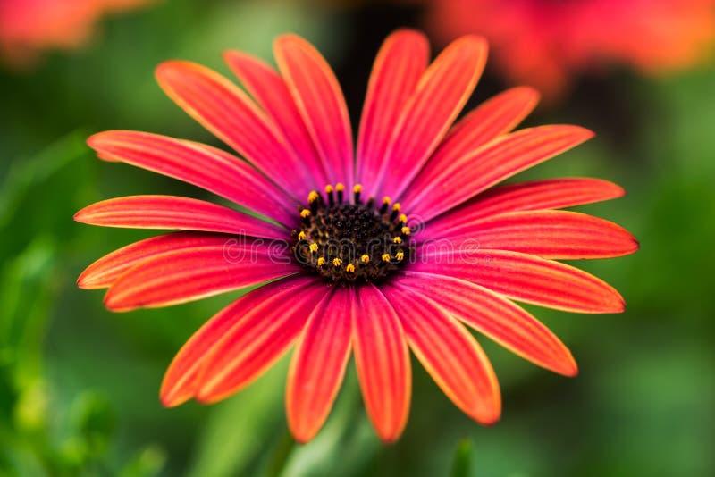 Flor vermelha do áster imagens de stock