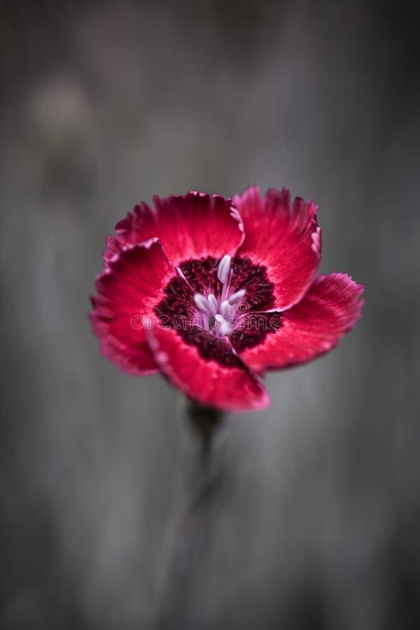 Flor vermelha do cravo-da-índia fotos de stock