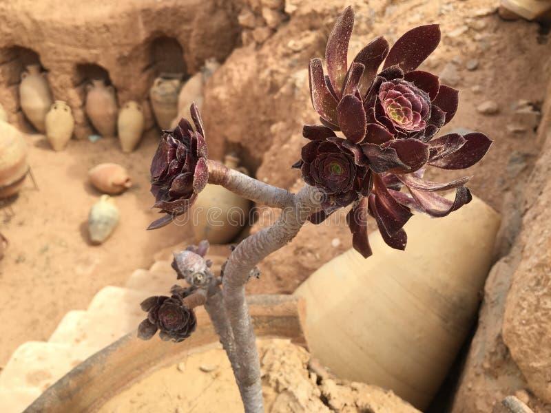 Flor vermelha do deserto em Tunísia imagem de stock