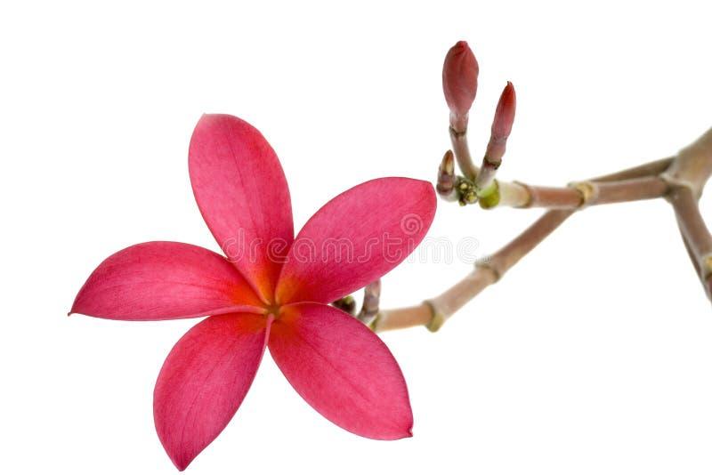 Flor vermelha do Frangipani fotografia de stock