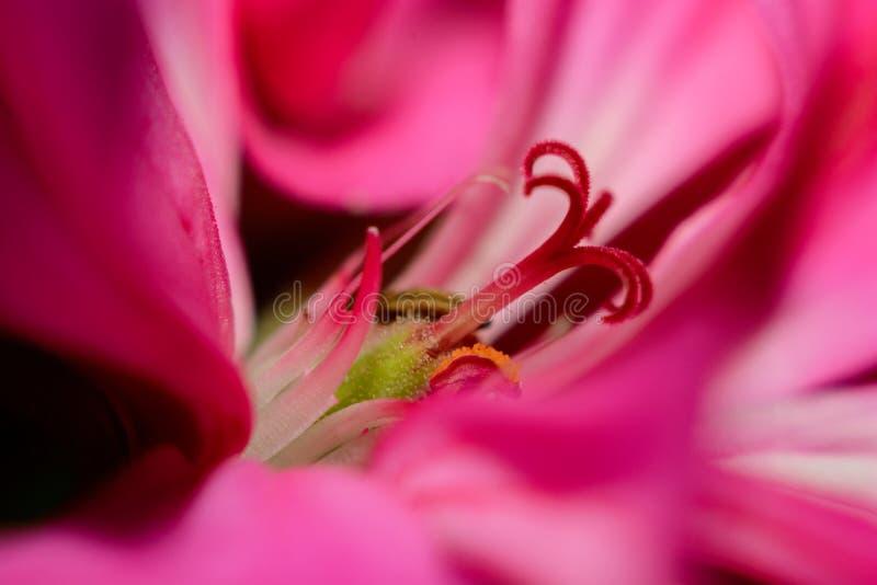 Flor vermelha do gerânio fotos de stock