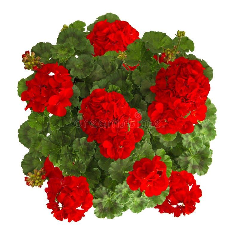 Flor vermelha do gerânio isolada no branco imagem de stock royalty free