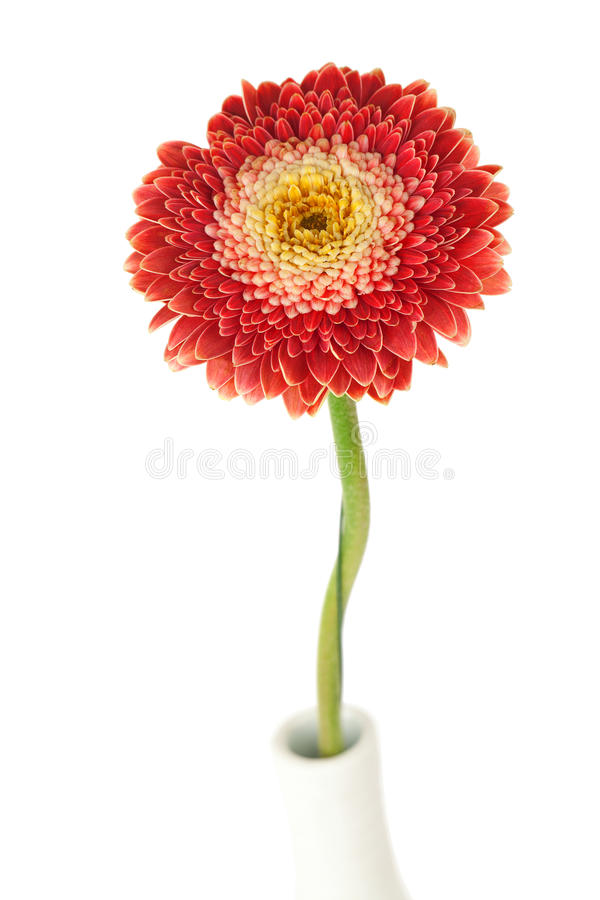 Flor vermelha do gerbera fotografia de stock royalty free