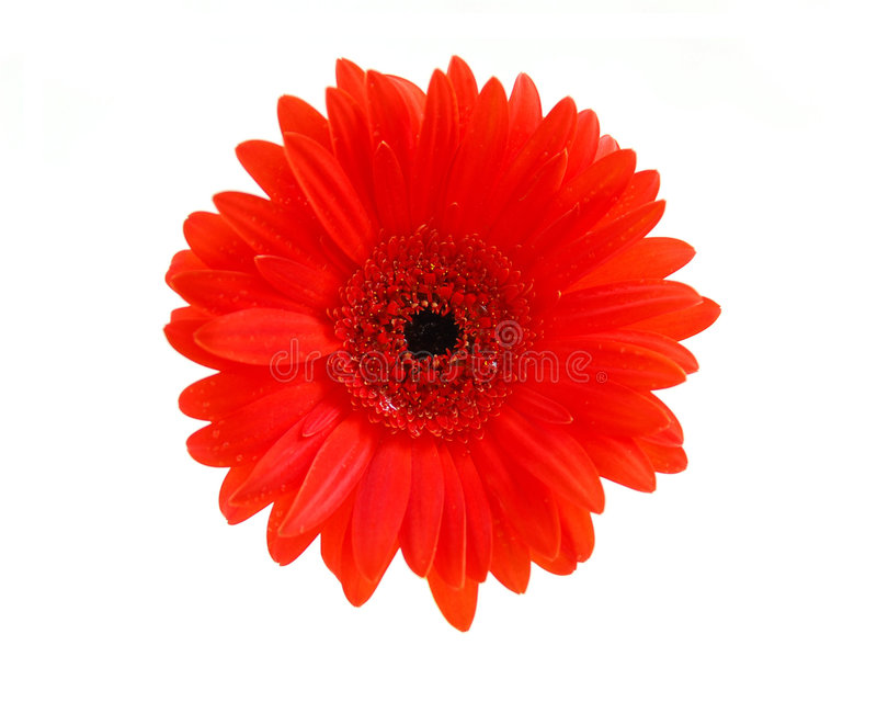 Flor vermelha do gerbera foto de stock