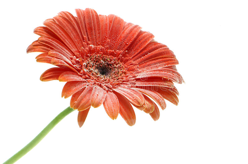Flor vermelha do Gerbera com closup das bolhas fotos de stock royalty free