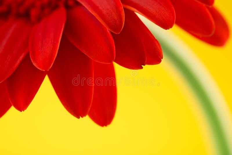 Flor vermelha do gerbera isolada sobre o fundo amarelo foto de stock royalty free