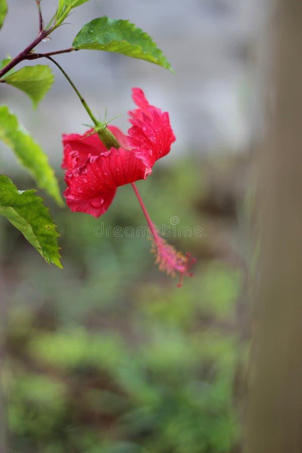 A flor vermelha do hibiscus fotos de stock royalty free