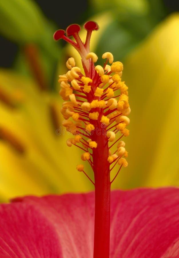 Flor vermelha do hibiscus fotos de stock