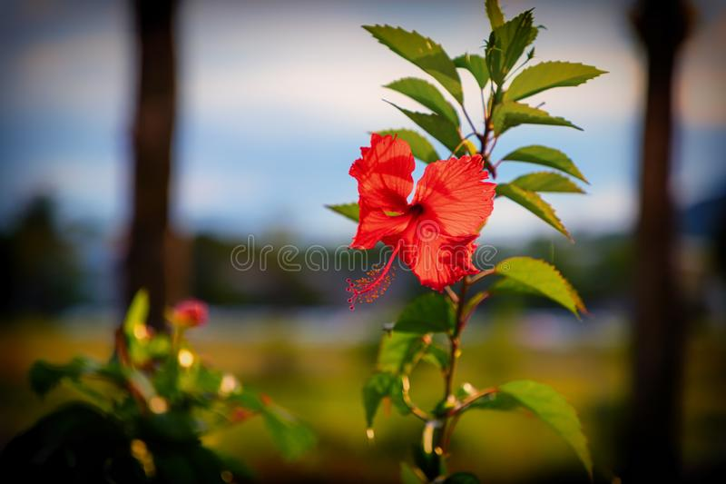 Flor vermelha do hibiscus antes do por do sol As Cara?bas, Rep?blica Dominicana fotos de stock royalty free