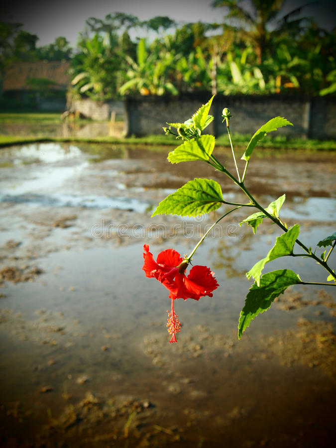 Flor vermelha do hibiscus, campo Bali do arroz imagem de stock