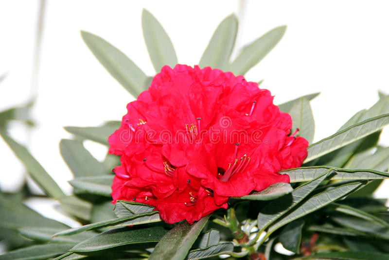 Flor vermelha do oleandro imagem de stock