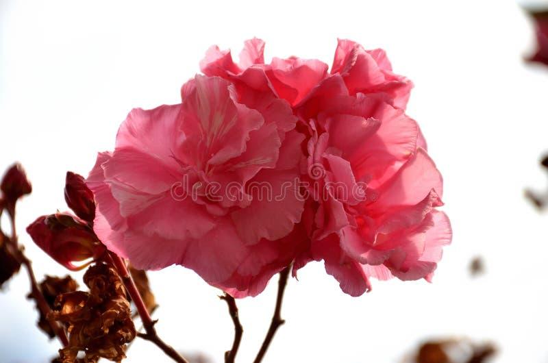 Flor vermelha do oleandro na flor do verão fotografia de stock royalty free