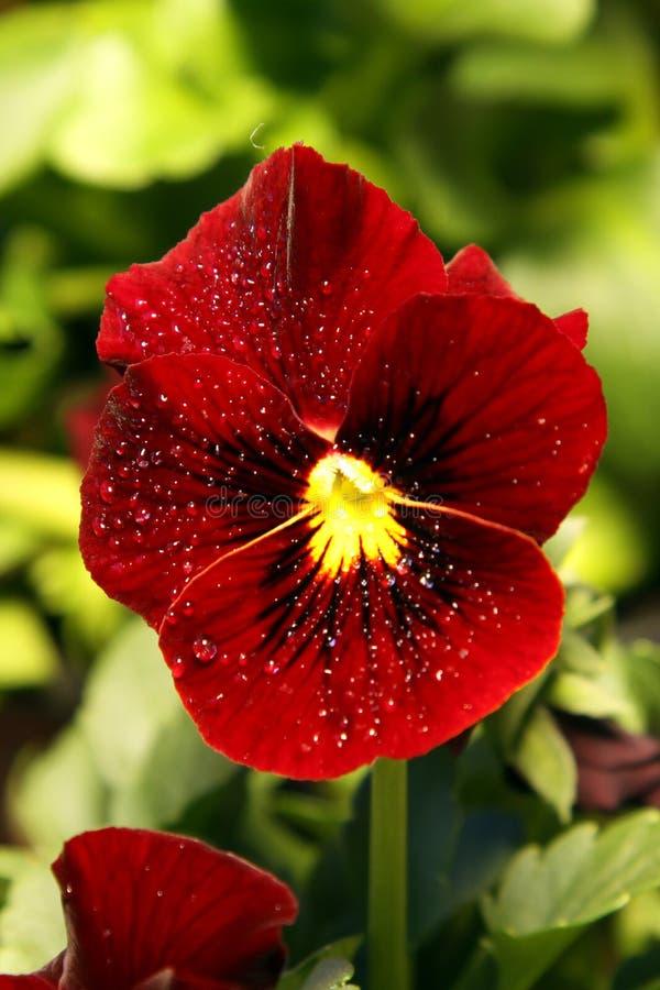 Flor vermelha do pansy fotografia de stock royalty free
