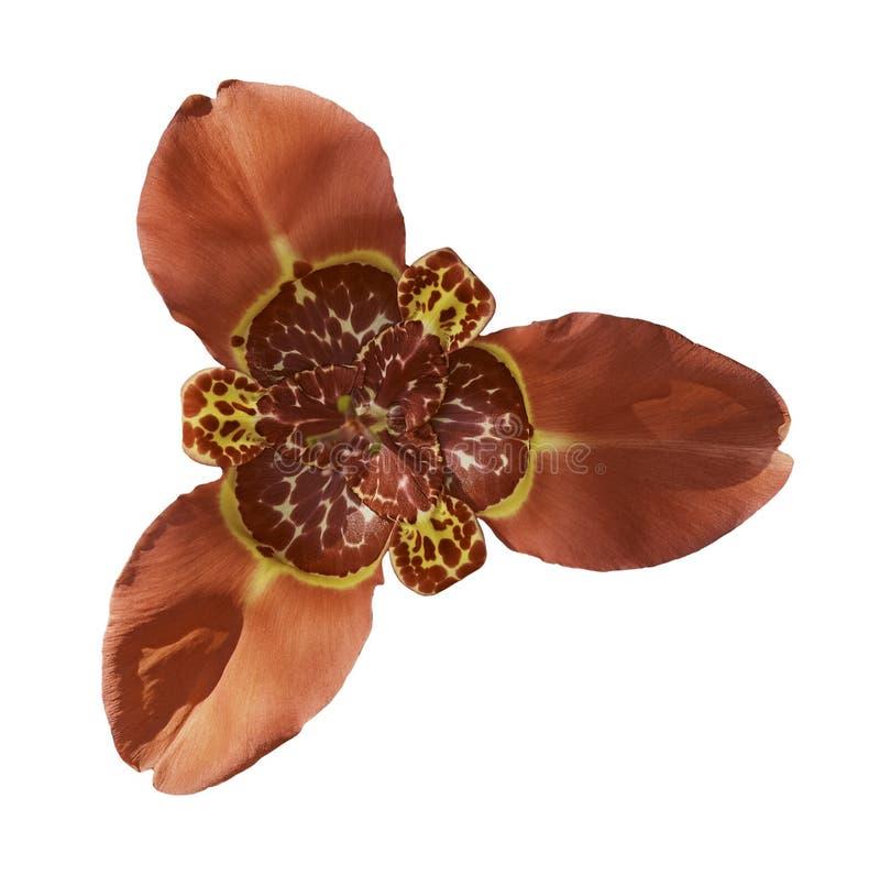 Flor vermelha do pavonia do tigridia, isolada no branco imagem de stock