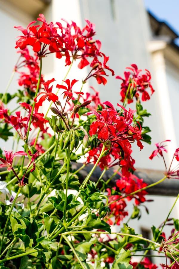Flor vermelha do peltatum do Pelargonium imagem de stock royalty free