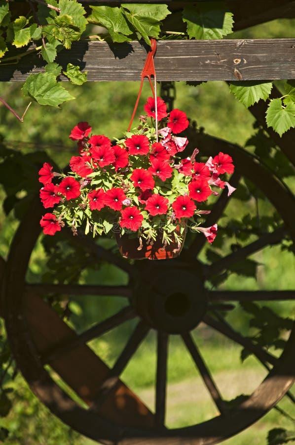 Flor vermelha do purpurea do Ipomoea foto de stock
