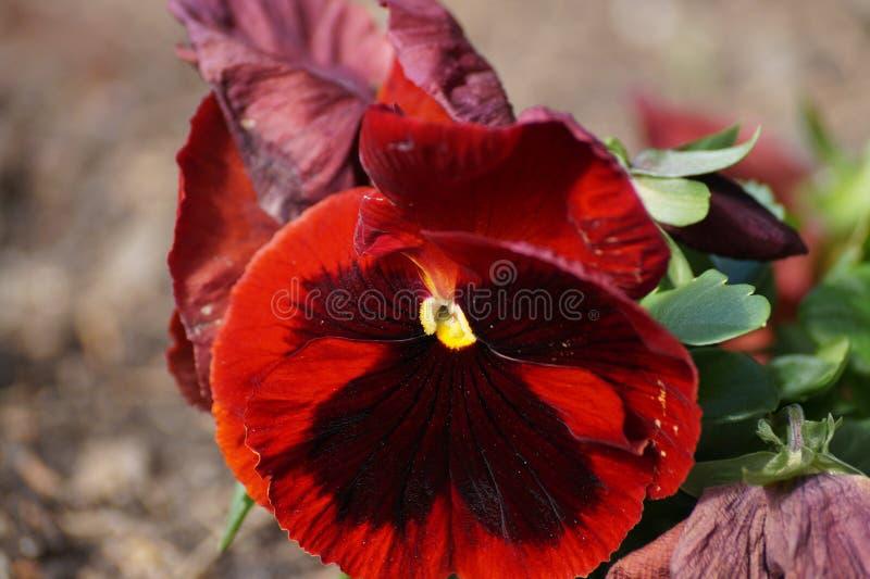 Flor vermelha do sul, vermelho, macro foto de stock royalty free