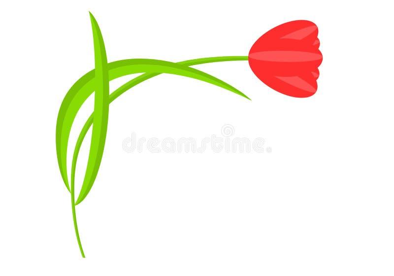 Flor vermelha do Tulip Uma única planta em um fundo branco fotos de stock royalty free