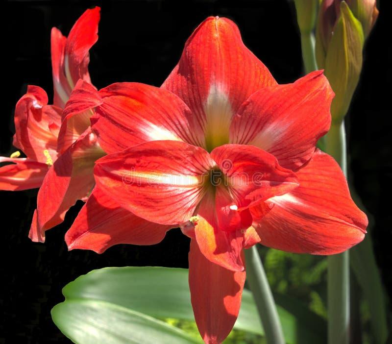 Flor vermelha dos amarillis fotos de stock royalty free