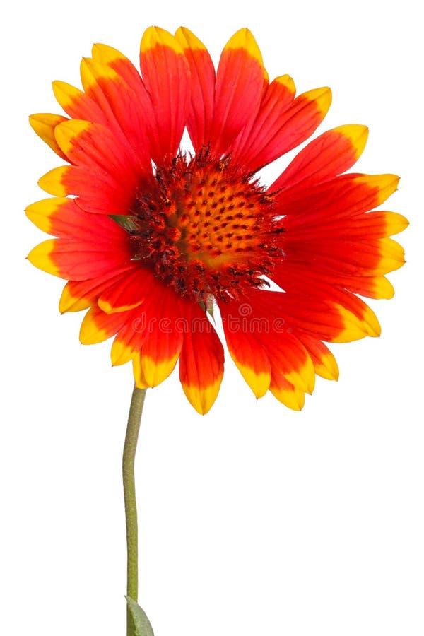 Flor vermelha e amarela do blanketflower indiano constante, igualmente conhecida como o sundance ou o firewheel, um híbrido com o fotografia de stock