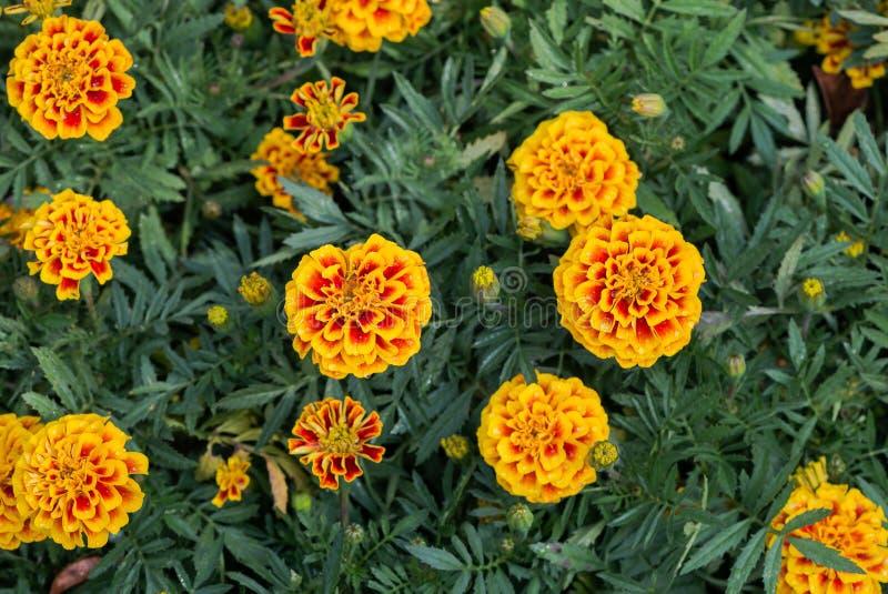 Flor vermelha e amarela do cravo-de-defunto fotografia de stock royalty free